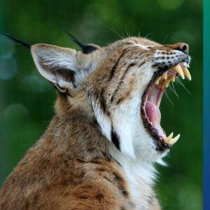 Global biodiversity: Lynx