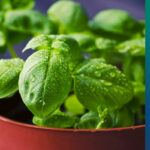 Green herb - Basil