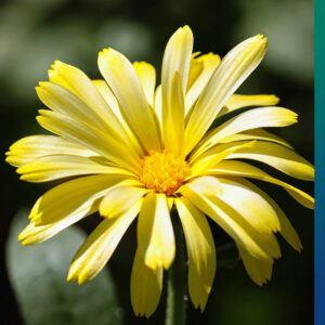 Calendula for a natural immune system boost