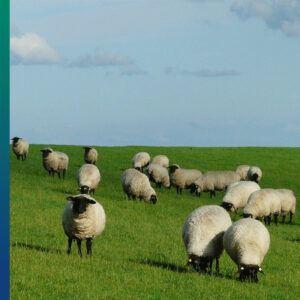 Organic wool - Sheep
