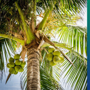 Coconuts in a palmtree