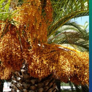 Dates on a palmtree